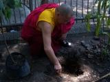 Sesi penanaman pohon Bodhi di area Joko Dolog oleh Lama Namgyal